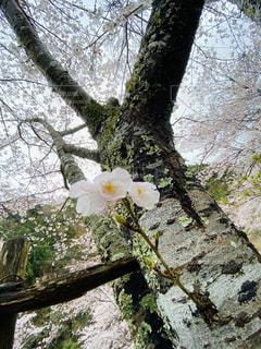 花,春,桜,木,屋外,花見,満開,樹木,お花見,イベント