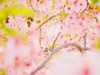 桜の花の写真・画像素材[1858164]
