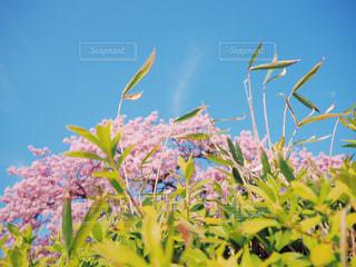 青空と桜の写真・画像素材[1859249]