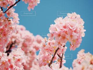 青空と桜の写真・画像素材[1859253]