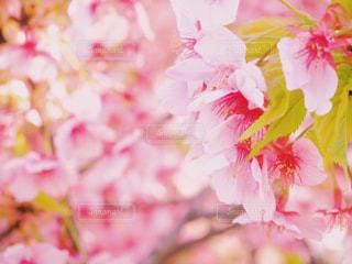 桜の花の写真・画像素材[1859279]