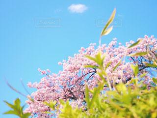 桜と青空の写真・画像素材[1861043]