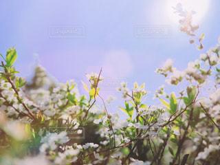 青空と春のお花の写真・画像素材[1872151]