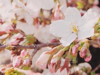 桜の花の写真・画像素材[1977113]