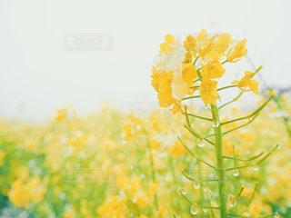 雪と菜の花の写真・画像素材[2018495]