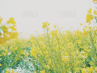 菜の花と雪の写真・画像素材[2018504]