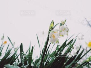 雪とスズランの写真・画像素材[2018510]