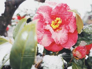 雪と椿の写真・画像素材[2018531]