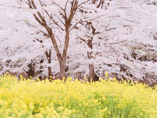 桜と菜の花の写真・画像素材[2043968]