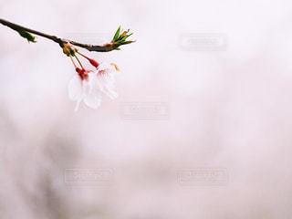 桜の花の写真・画像素材[2043986]