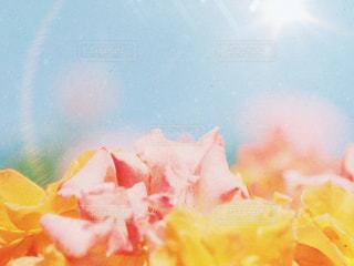 薔薇の写真・画像素材[2163058]