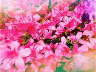 ツツジの花の写真・画像素材[2163063]
