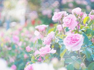 薔薇の花の写真・画像素材[2163070]