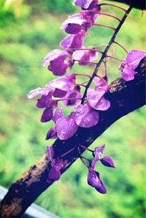 花,きれい,紫,水滴,ラベンダー,藤,樹木,雨上がり,雫,beautiful,しずく,草木
