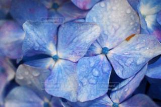 花,植物,きれい,あじさい,水,紫,水滴,花びら,ラベンダー,チューリップ畑,紫陽花,癒し,雨上がり,雫,しずく,草木,キレイ