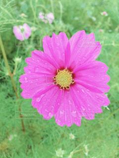 花,屋外,ピンク,コスモス,水,水滴,花びら,草,水玉,雫,flower,秋桜,beautiful,pink,草木,フローラ
