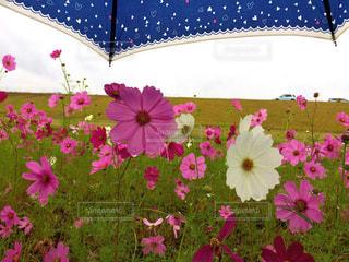 風景,花,傘,コスモス,青,水,水滴,花びら,草,水玉,たくさん,雫,flower,秋桜,beautiful,White,pink,umbrella,フローラ