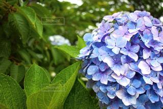 紫陽花の写真・画像素材[2124424]