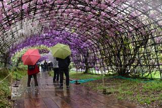 男性,花,雨,傘,屋外,植物,歩く,紫,藤,トンネル,天気,グラデーション,雨の日,ピンクの傘,黄色の傘