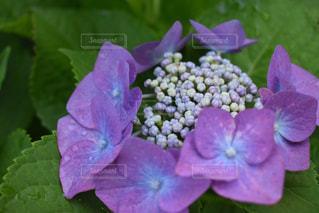 花,雨,屋外,植物,あじさい,水,水滴,紫陽花,雫,梅雨,天気,雨の日,カメラ好き