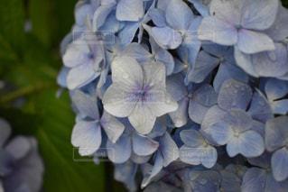 花,雨,屋外,植物,あじさい,水,水滴,紫陽花,梅雨,天気,雨の日,カメラ好き