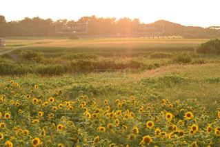 自然,風景,空,花,夏,屋外,太陽,草原,ひまわり,夕焼け,夕暮れ,景色,光,新緑