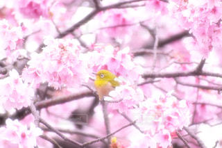 花,春,桜,鳥,ピンク,鮮やか,樹木,メジロ,草木