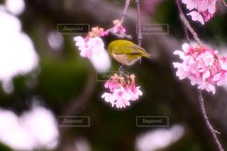 花,桜,動物,鳥,ピンク,メジロ,桜の木,蜜,園芸センター