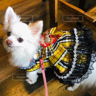 小さな白い犬の写真・画像素材[1636785]