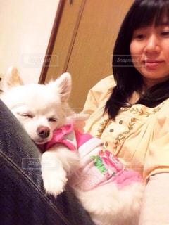 膝の上でリラックスして眠る犬チワワの写真・画像素材[1636787]