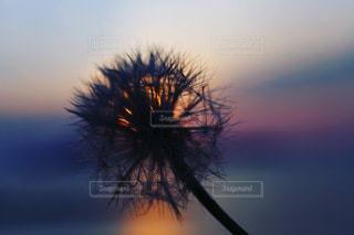 綿毛と夕日の写真・画像素材[3470243]