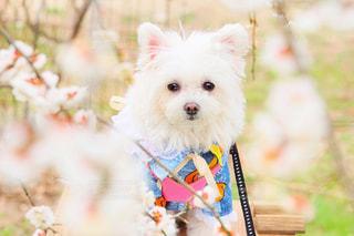 犬,花,白,梅,ペット,ホワイト,3月