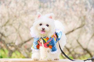 犬,花,白,梅,景色,ペット,ホワイト,3月
