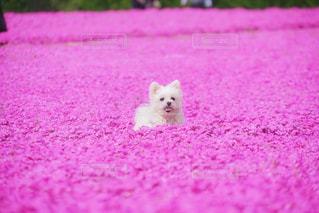芝桜の写真・画像素材[1693036]