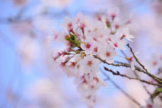 春,桜,お花見
