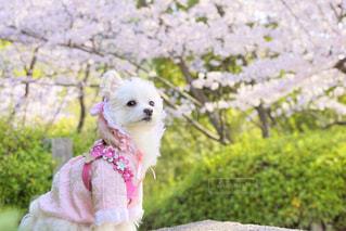 犬,自然,公園,春,桜,動物,花見,ペット,お花見,野外,愛犬,桃色