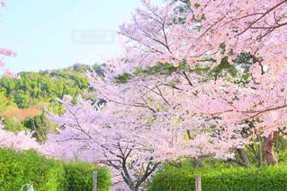 自然,公園,春,桜,花見,お花見,桃色