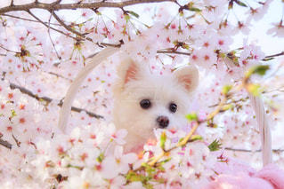 小さな白い犬の写真・画像素材[1833763]