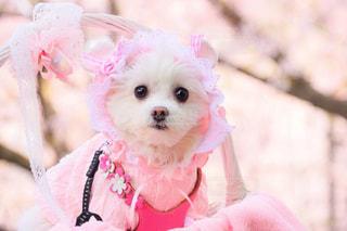 犬,自然,公園,春,桜,動物,かわいい,花見,ペット,お花見,愛犬,桃色
