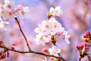 桜٭❀*の写真・画像素材[1885259]