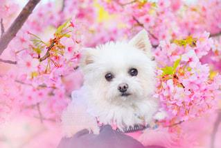 犬,花,春,桜,動物,木,花見,ペット,お花見,イベント,愛犬
