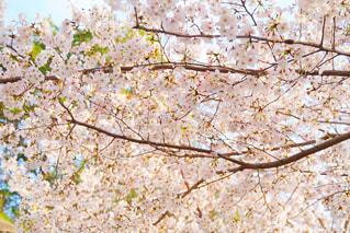花,春,桜,木,花見,お花見,イベント