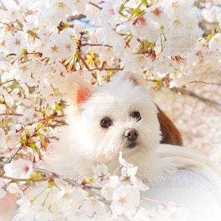 犬,花,春,桜,動物,木,白,花見,ペット,お花見,イベント