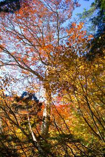 森の大きな木の写真・画像素材[1642555]