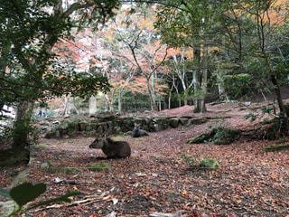 森の中の紅葉と鹿の写真・画像素材[1646280]