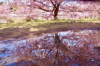自然,花,春,桜,屋外,花見,お花見,ピクニック,雨上がり,ライフスタイル