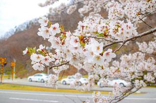 花,春,樹木,桜の花,さくら,ブロッサム