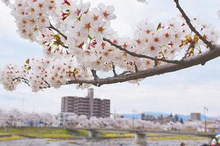 自然,空,花,春,屋外,樹木,桜の花,さくら,ブロッサム