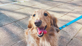 犬,動物,屋外,かわいい,散歩,ペット,笑顔,幸せ,ダックス,ミニチュアダックス,ミニチュアダックスフンド,ベージュ,笑う犬,クリーム色,ミルクティー色