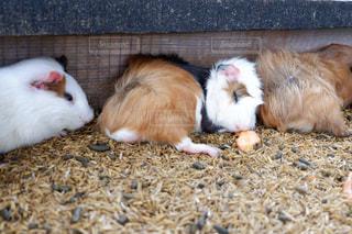 動物,屋外,かわいい,ペット,寝顔,幸せ,お昼寝,モルモット,ベージュ,クリーム色,ミルクティー色